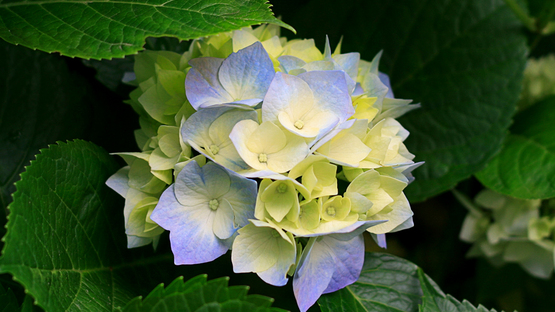 upload/23277/20180314/Hydrangeas.jpg